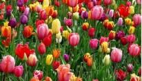 Festiwal tulipanów i Amsterdam